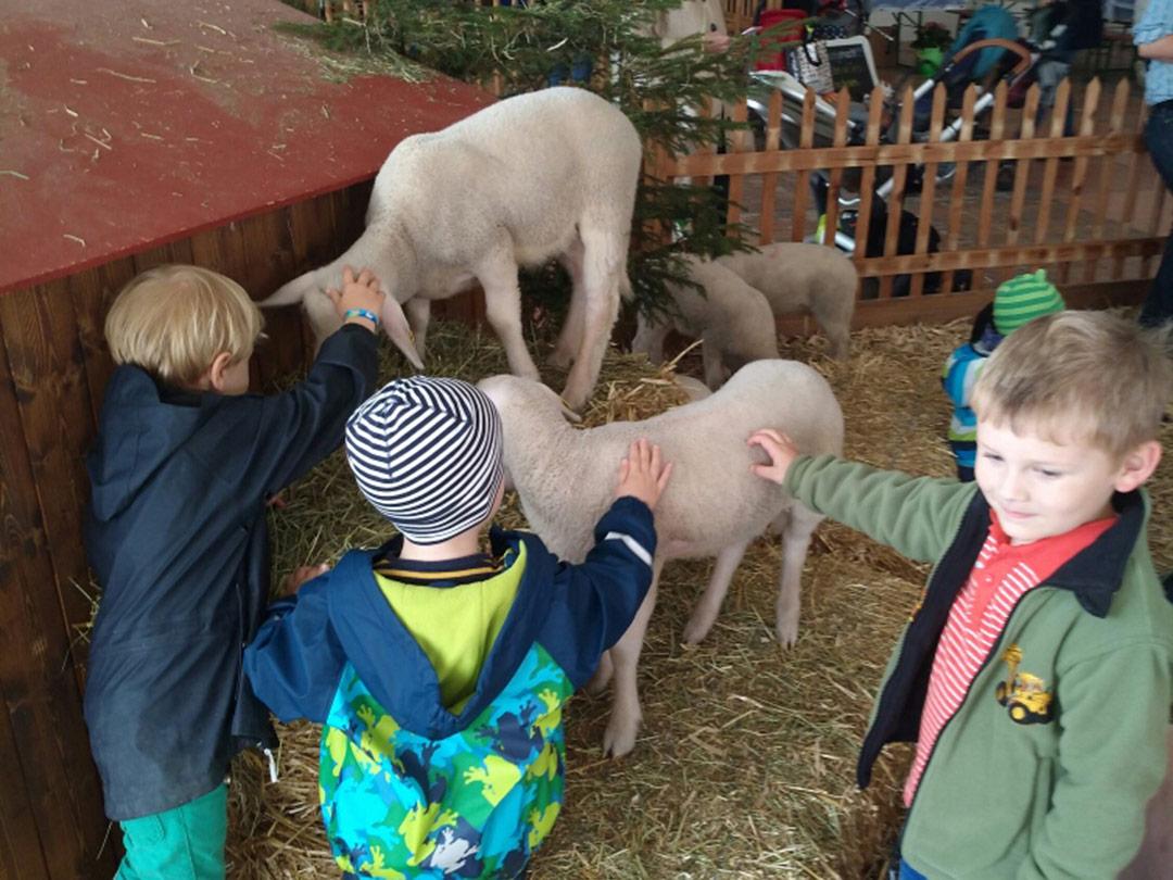 KITA Stärnschnuppe Ausflüge Luga: Schafe streicheln