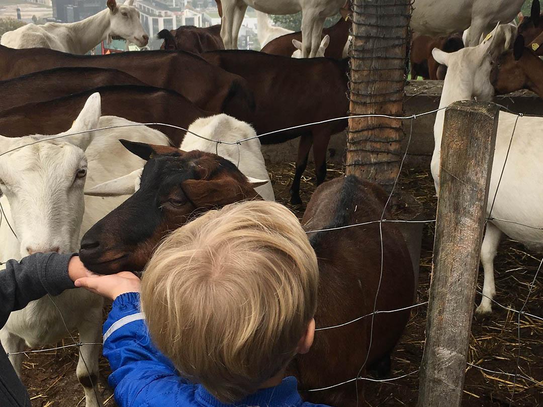 KITA Stärnschnuppe Ferienbetreuung Herbst: Ziegen auf dem Hof Niederberger